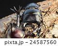 国産オオクワガタVS国産カブトムシの樹木の上での戦い 黒背景 24587560