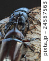 国産オオクワガタVS国産カブトムシの樹木の上での戦い 黒背景 24587563