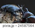 国産オオクワガタVS国産カブトムシの樹木の上での戦い 黒背景 24587564