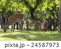 鹿 親子 子鹿の写真 24587973
