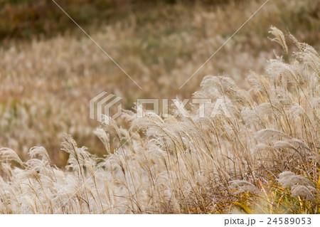 仙石原 すすき草原のススキ 24589053