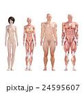 筋肉 人体 解剖のイラスト 24595607