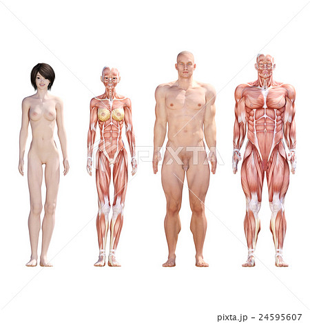 男女 解剖 筋肉 3dcg イラスト素材のイラスト素材 24595607 Pixta
