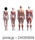 筋肉 人体 解剖のイラスト 24595608