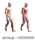 筋肉 人体 解剖のイラスト 24595609