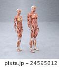 男女 解剖 筋肉 3DCG イラスト素材 24595612