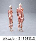 筋肉 人体 解剖のイラスト 24595613