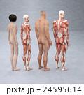 筋肉 人体 解剖のイラスト 24595614