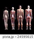 筋肉 人体 解剖のイラスト 24595615
