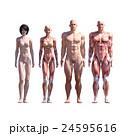 筋肉 人体 解剖のイラスト 24595616