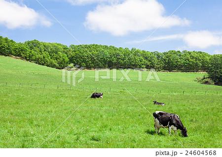 乳牛 24604568