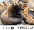 自然 アシカ 生き物の写真 24609112