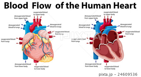 Blood flow of the human heartのイラスト素材 [24609536] - PIXTA