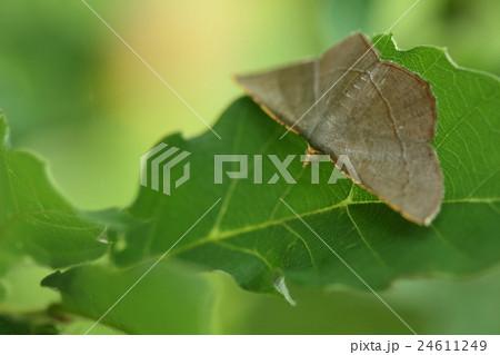 生き物 昆虫 マエキオエダシャク、オエダシャク類の仲間で翅の前縁が黄色いので『前黄』 24611249