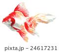 金魚 りゅうきん 魚のイラスト 24617231