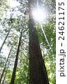 檜 木 針葉樹の写真 24621175
