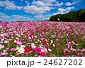 秋桜と青空 24627202