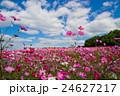 秋桜と青空 24627217