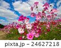 秋桜と青空 24627218