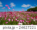 秋桜と青空 24627221