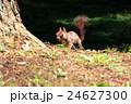 野生のエゾリス<香雪園>in函館 24627300
