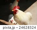 鶏 24628324