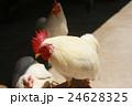 鶏 24628325