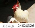 鶏 24628326
