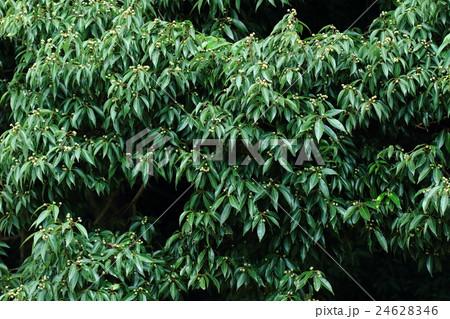 自然 植物 シラカシ、八月下旬。枝という枝に沢山未熟なドングリが見えます② 24628346