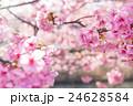花 桜 サクラの写真 24628584