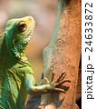 インドシナウォータードラゴン 24633872