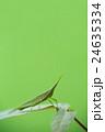 アサガオにとまるオンブバッタ 24635334