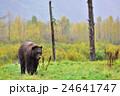 【アラスカ】ブラウンベアー 黄葉(1) 24641747
