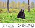 【アラスカ】ブラウンベアー 黄葉(2) 24641748