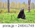 【アラスカ】ブラウンベアー 黄葉(3) 24641749