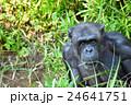 【動物】チンパンジー ポートレート(1) 24641751