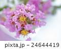 サルスベリの花 2016 24644419