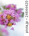 サルスベリの花 2016 24644420