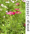 夏から秋に掛けて花壇をにぎわすコスモスの桃色の花 24645062