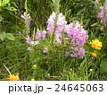 この薄紫の花はカクトラノオ 24645063
