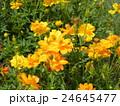 夏から秋にかけて花壇を賑わすキバナコスモスの黄色い花 24645477