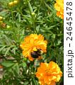 夏から秋にかけて花壇を賑わすキバナコスモスの黄色い花 24645478