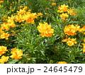 夏から秋にかけて花壇を賑わすキバナコスモスの黄色い花 24645479