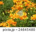 夏から秋にかけて花壇を賑わすキバナコスモスの黄色い花 24645480