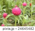桃色のぽんぽん咲きのセンニチコウの花 24645482