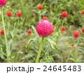 桃色のぽんぽん咲きのセンニチコウの花 24645483