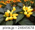 黄色い実の観賞用唐辛子 24645678