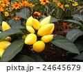黄色い実の観賞用唐辛子 24645679