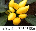 黄色い実の観賞用唐辛子 24645680