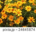 この黄色い花は矮性ヒャクニチソウでジニアとも言う 24645874
